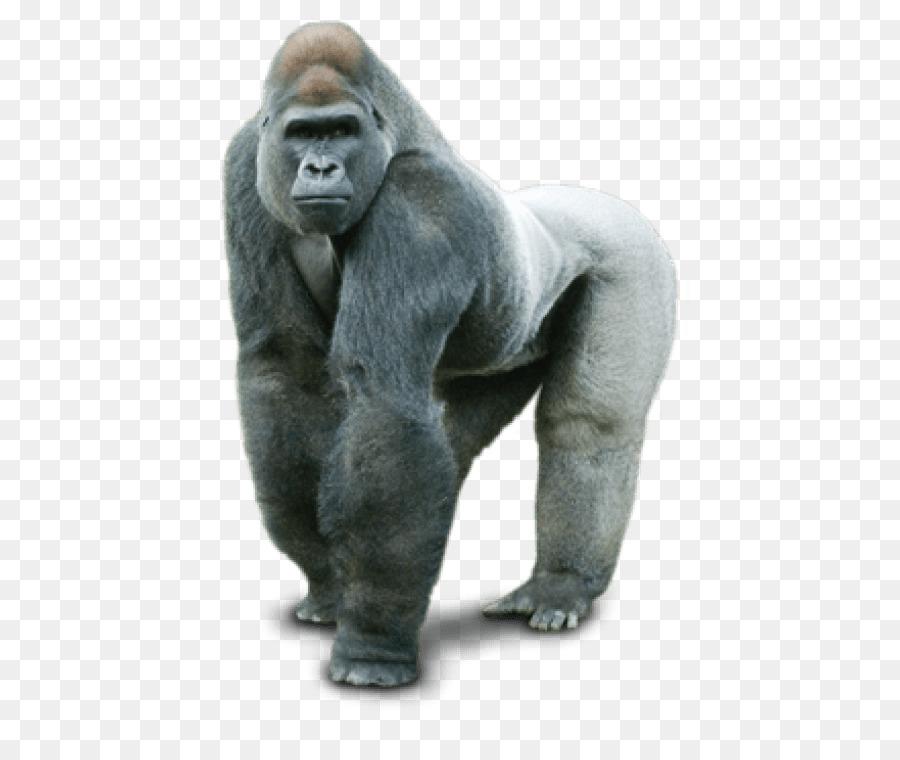 картинка гориллы на белом фоне