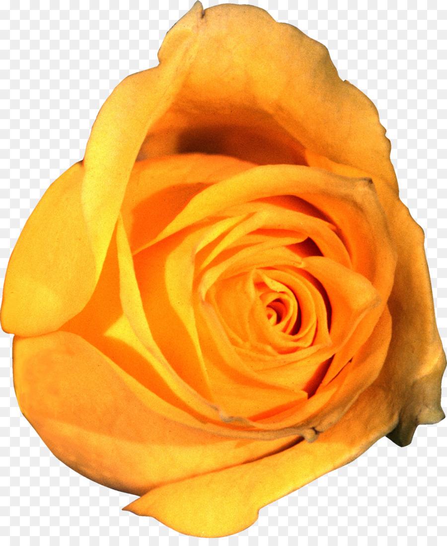 Картинки желтых роз на прозрачном фоне для фотошопа, порадовать друзей