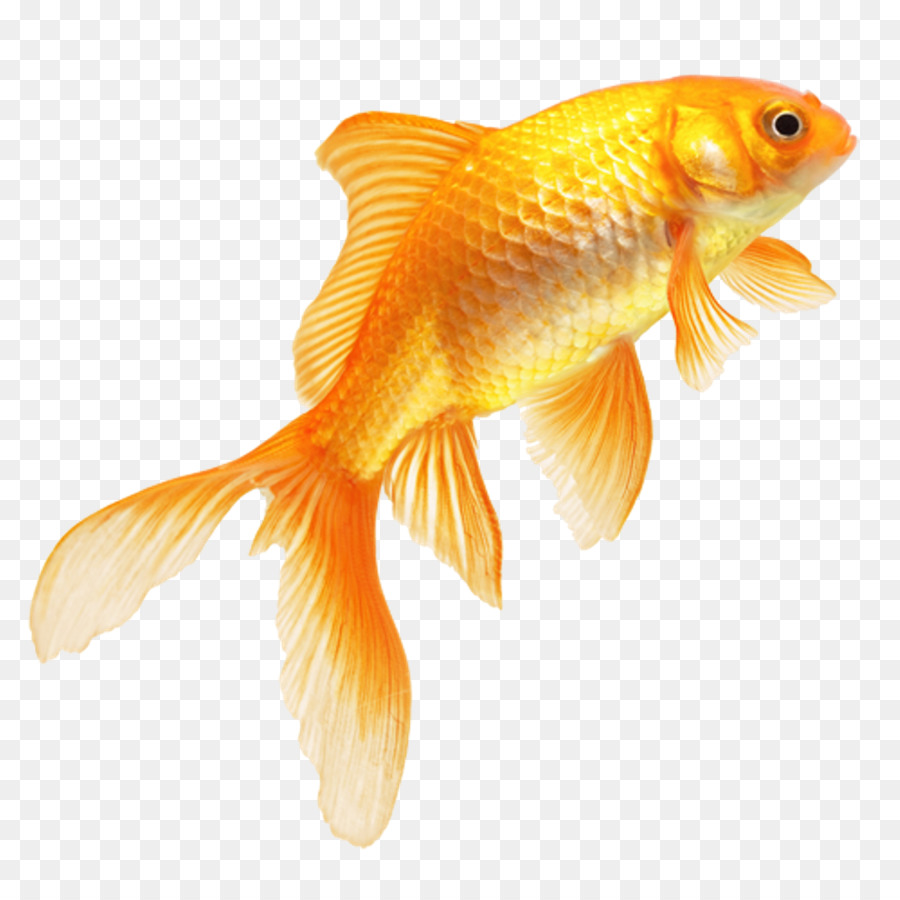Картинки золотая рыбка на прозрачном фоне