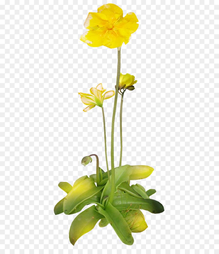 цветок лютик картинка на прозрачном фоне балаяж один актуальных