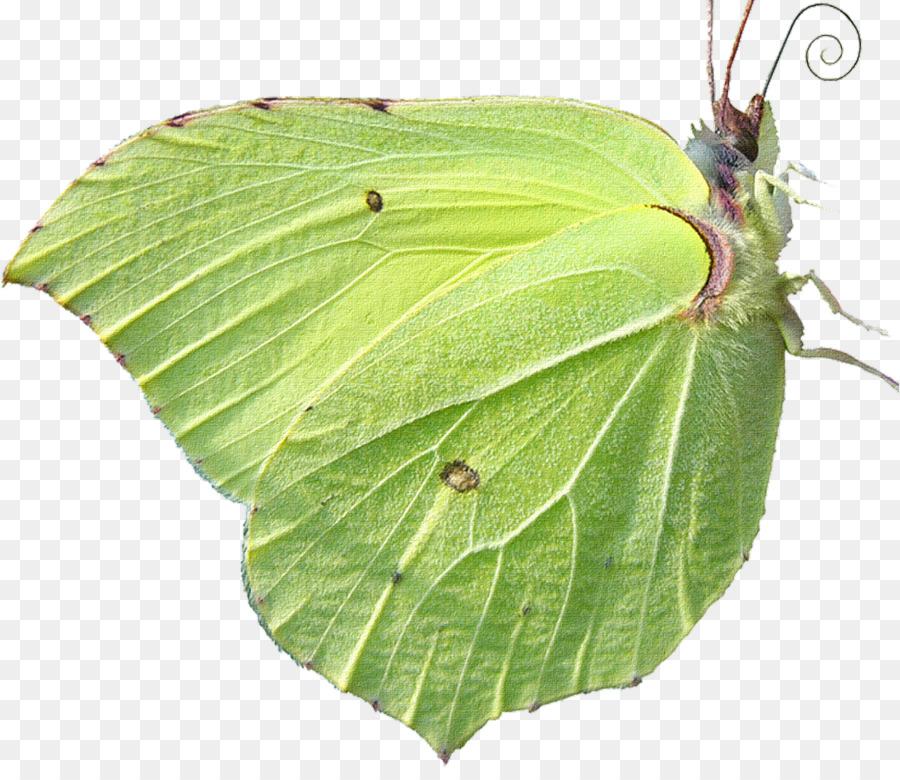 Бабочка лимонница картинка на прозрачном фоне