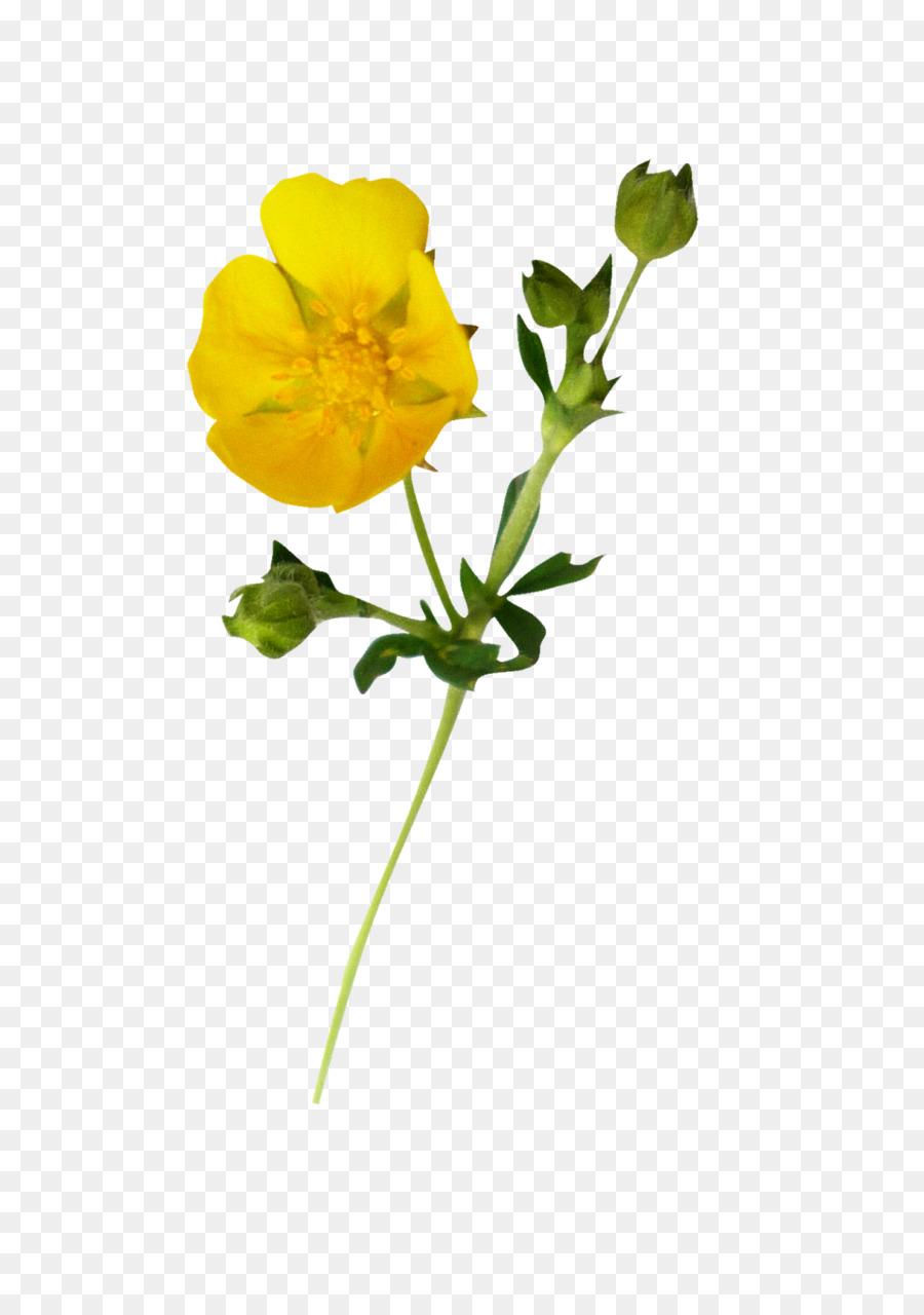 цветок лютик картинка на прозрачном фоне отражают световой поток
