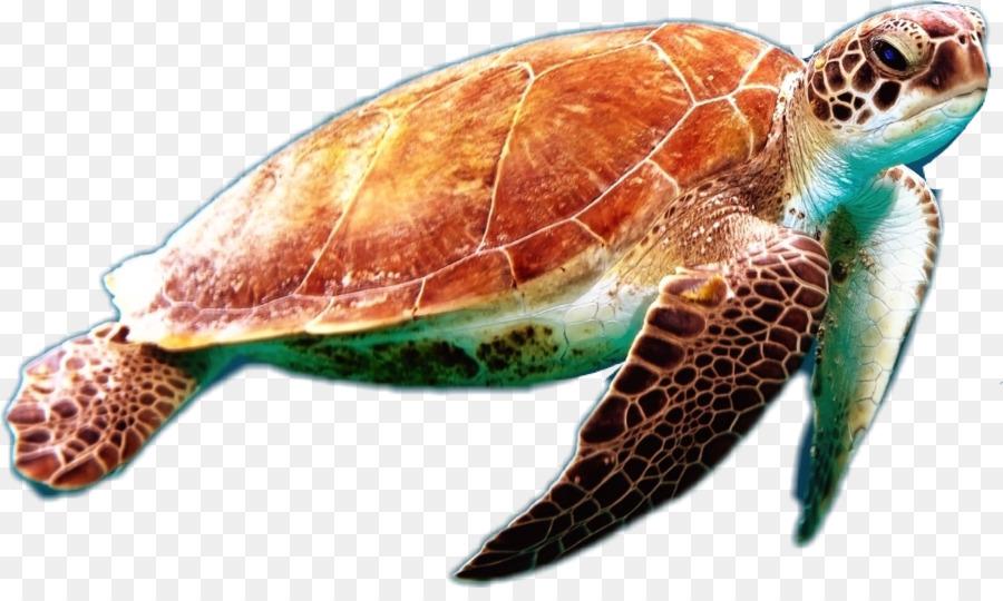 Картинки черепахи на белом фоне