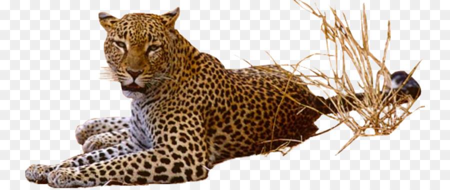 леопард,