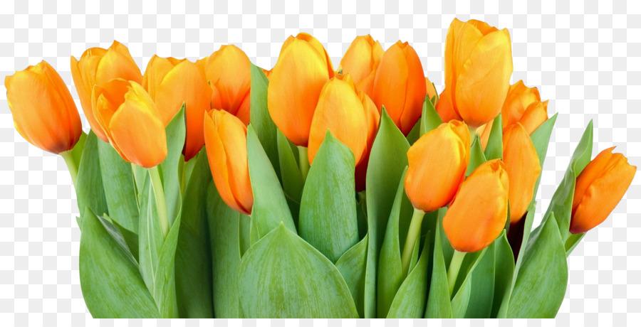 тюльпан,