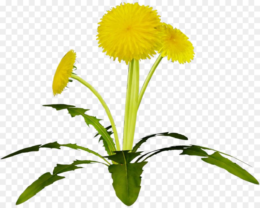 Картинки цветок одуванчик на прозрачном фоне