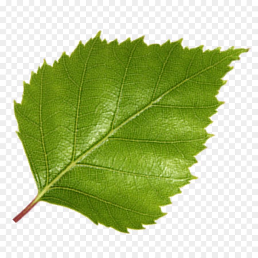 любая листья березы рисунки окуня можно